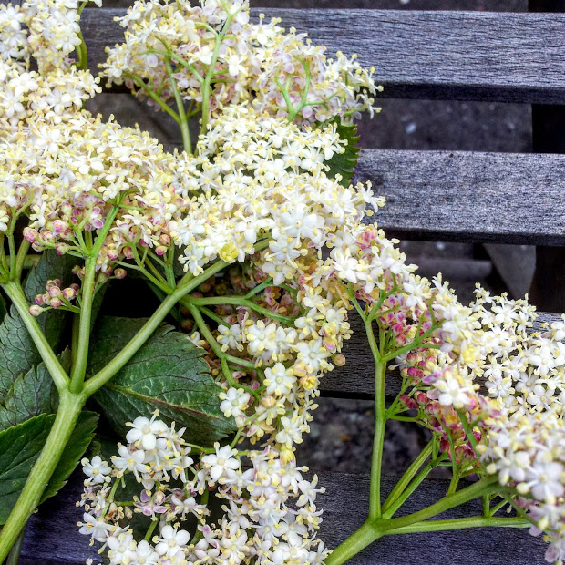 elderflowers 2016