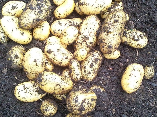 New potatoes, grown in the green house and dug up for Christmas lunch