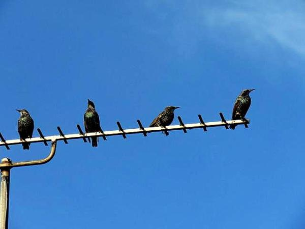 The starlings gather