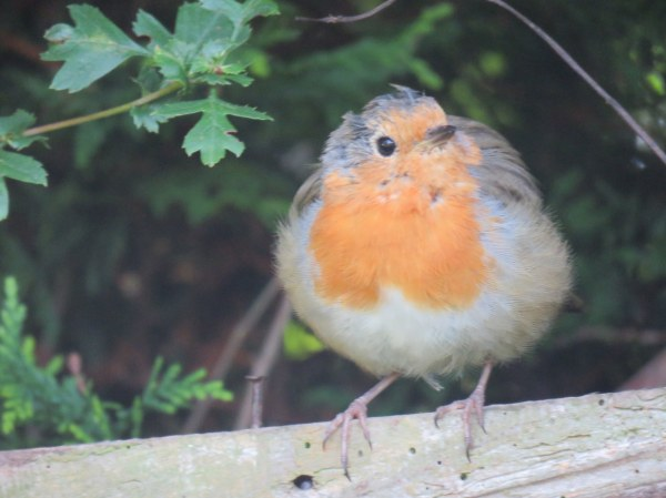 My new garden robin.jpg