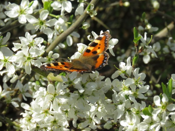 butterfly on blackthorn.jpg